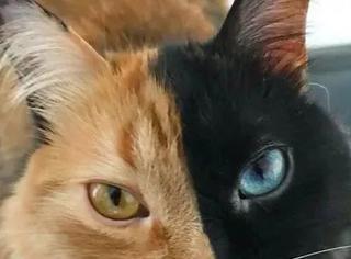 这只猫的脸一半橘色,一半黑色,而且灰常漂亮
