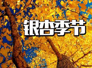 十一月下旬,也该来西部银杏第一村看看金黄的世界了!