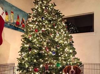 为防止圣诞树被萌宠们破坏,主人们也是用尽了各种奇葩大招…