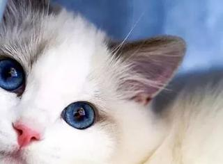 网友家的这只女神级的布偶猫,真是美若天仙