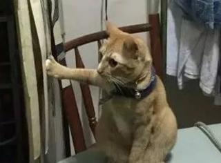 橘猫不小心爪子被窗帘勾住了,它求助的表情让人笑喷了