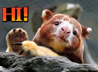 给大家介绍一下萌物界的新成员,树袋鼠