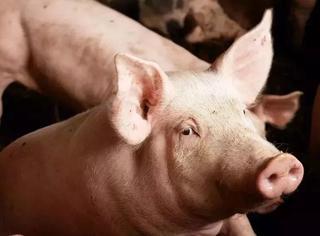 猪是从什么时候开始油腻的?
