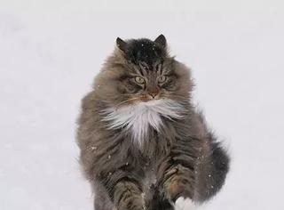 俄罗斯一网友家养的这只挪威森林猫简直霸气十足,感受下