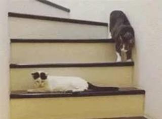 这猫平时被另一只猫欺负怕了,现在连下楼梯都要这样