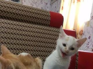 据说哈欠会传染,但这猫常在大猫旁打哈欠,它都无动于衷