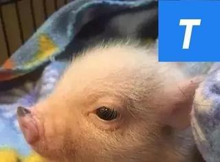 他曾是个不羁的烤肉厨子…直到后来,他爱上了一只猪猪...