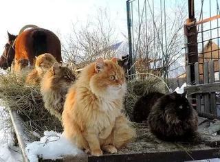 一对俄罗斯夫妇在农场收养了几十只猫,这画风有点特别~