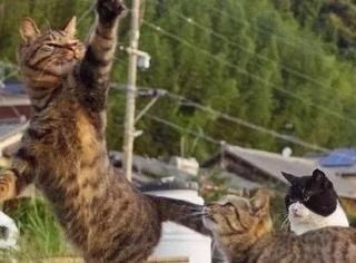 推主拿逗猫棒逗3只猫,两只都玩疯了,而边上猫的表情笑喷了