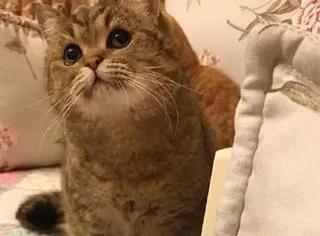 主人给家里的猫戴上狮子头套后,简直要萌死人