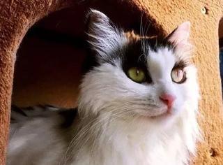 网友家的这只猫天生自带大烟熏眼线,实在是太妖媚了