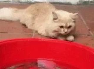 这只猫在帮主人看着盆里的虾,没想到一只虾突然跳出来后