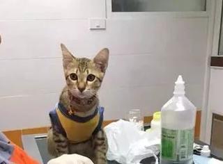 猫平时在家里作威作福的,一进医院后...