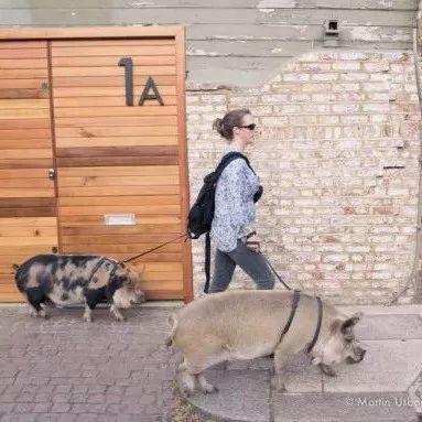 本来只是买了两只迷你宠物猪,这个女人的画风却完全被改变了