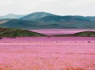 忽而一夜暴雨来,智利沙漠遍地花