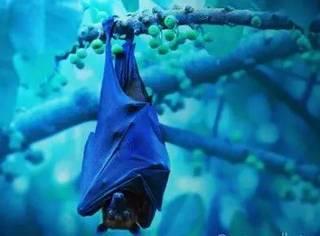 蝙蝠着陆的独门姿势:凌空倒挂
